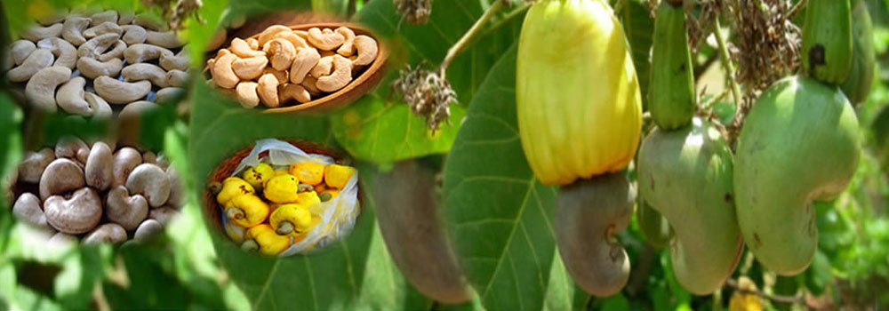 Cashew suppliers in madurai